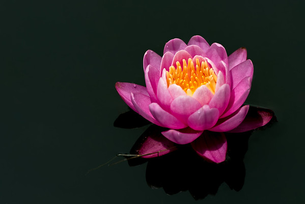 Pink Waterlily in Black Water 2