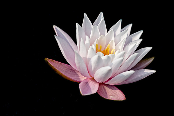 White & Pink Water Lily