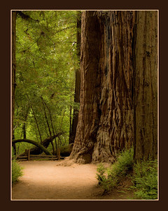 Henry Cowell Redwood. Santa Cruz Mountains.