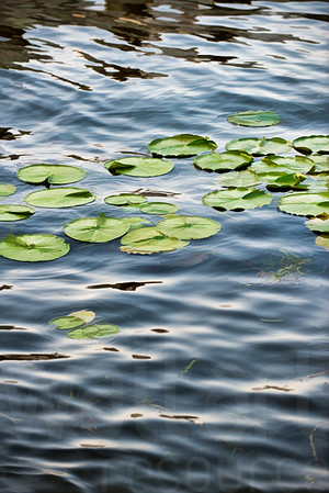 Lake Lily Pads | Wall Art Resource