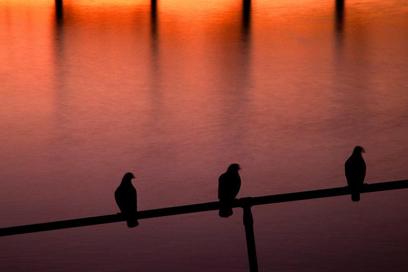 Acadia Harbor Birds