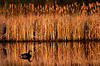 Goose on Pond 1
