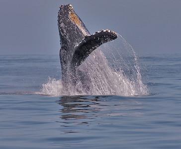 whale breaching x_S8Q8901
