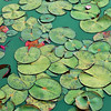 Serene Green Waterlilies