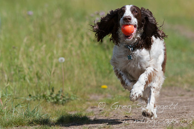 I took this photo for a friend while out in Alberta. The Spaniel running, with the ball seemed the logical choice as that is the dogs favourite activity.