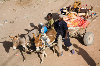 Beef headed for the market / Djenne, Mali