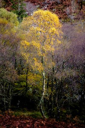 Resolute Birch - Glac Mhor, Doirlinn, Moidart