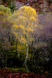 Resolute Birch - Glac Mhor, Doirlinn, Moidart