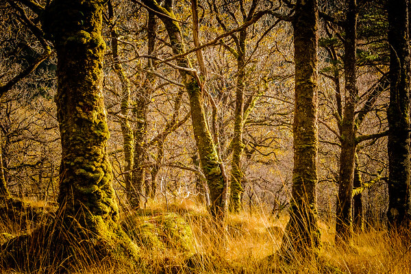 Sidelight I - Ariundle Oakwood, Strontian, Sunart