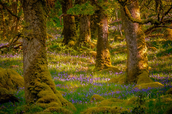 Patches of Blue - Ariundle Oakwood, Strontian, Sunart