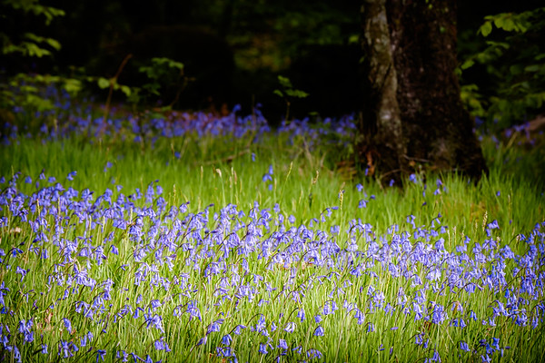 Carpeted in Blue - Phemie's Walk, Strontian, Sunart
