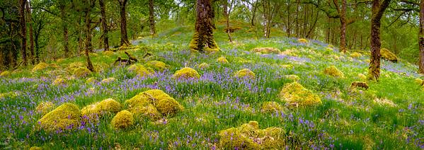 Fairies amongst Bluebells - Ariundle Oakwood, Strontian, Sunart