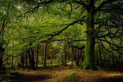 Verdant Canopy - Phemie's Walk, Strontian, Sunart