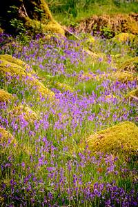 Bluebell Cascade - Ariundle Oakwood, Strontian, Sunart