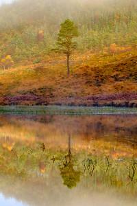Polloch Pine I - Loch Doilet, Polloch, Sunart