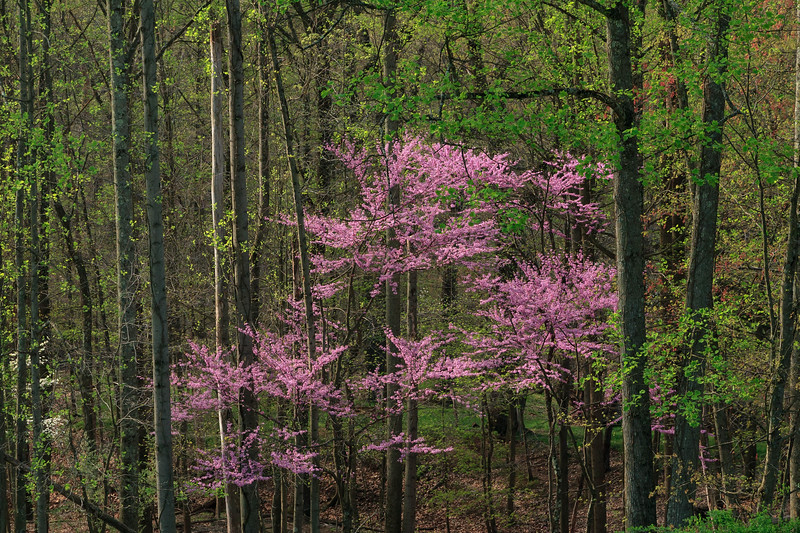 Redbud in Forest 0804