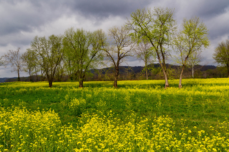 Mustard Field 5004LF