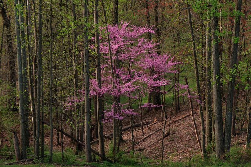 Redbud in Forest 08