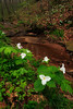 Trilliums Along Stream 3