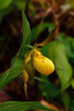 Yellow Lady's Slipper 495