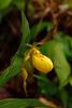 Yellow Lady's Slipper 495