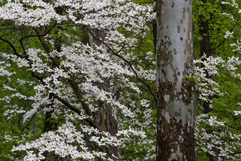 Dogwood and Sycamore 04