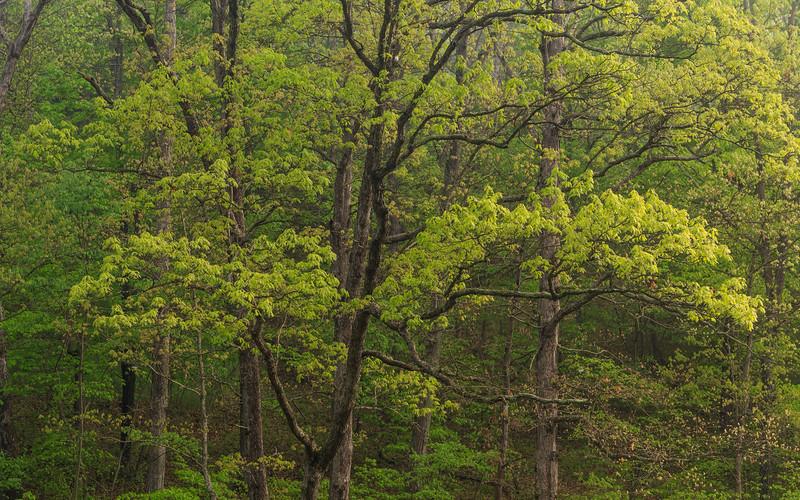 Trees Along Dan's Run Road 4574