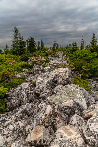 Dolly Sods Rock Laurel 7781