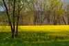 Mustard Field 8865