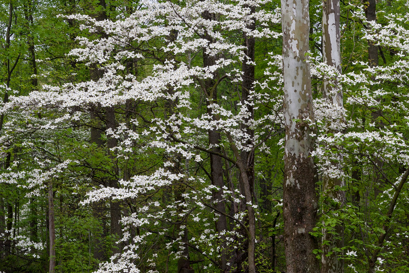 Dogwood and Sycamore 19