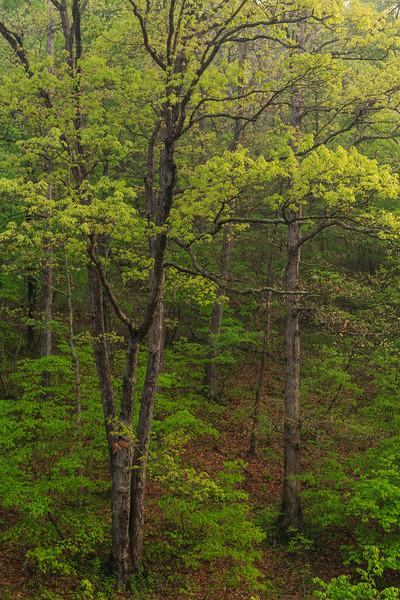 Trees Along Dan's Run Road 4571