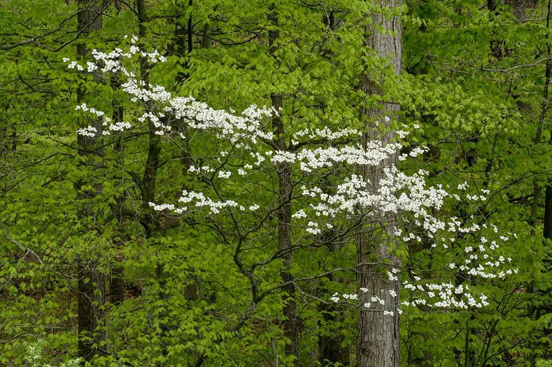 Dogwood in Forest 084