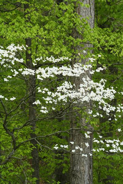 Dogwood in Forest V