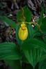 Yellow Lady Slipper 9815