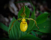 Yellow Lady Slipper 9798