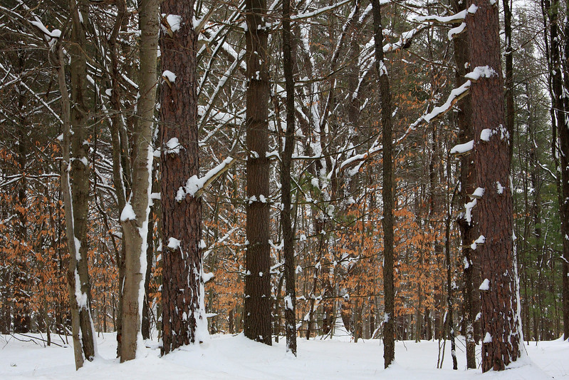 Snowy Forest H1