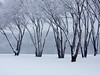 Snowy Trees 04