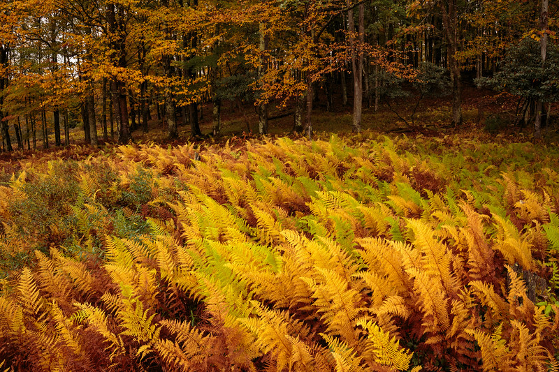 Canaan Valley Ferns 3124