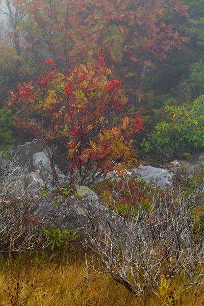 Mountain Ash Fog 8711