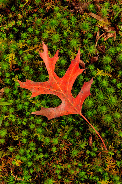 Fallen Pin Oak Leaf 7