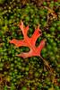 Fallen Pin Oak Leaf 7