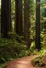 Redwoods 102C1