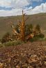 Bristlecones Schulman Grove 46