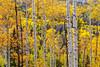 Aspen Forest 6842