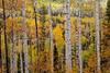 Aspen Forest 6833