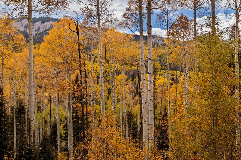 Aspen Forest 6843