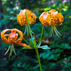 These are wild Leopard Lilies.