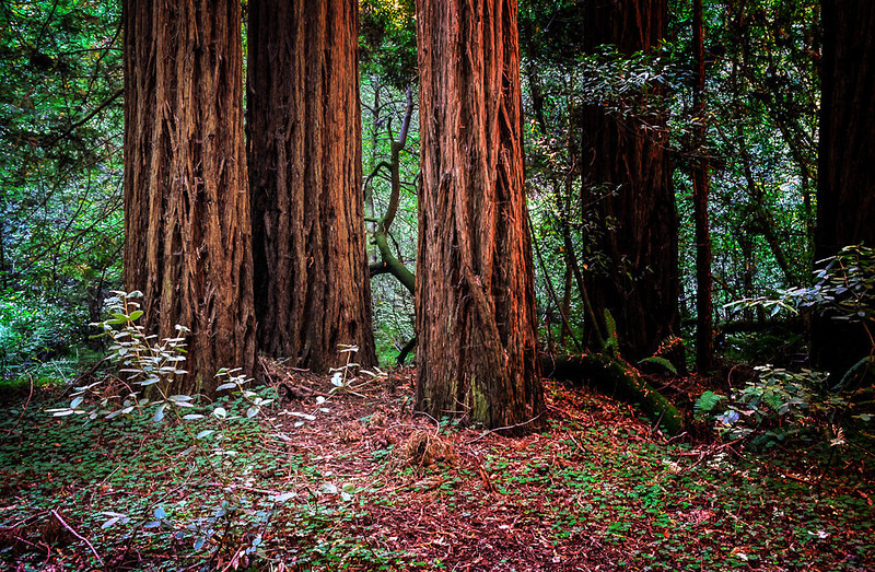 Three giant redwoods stand tall in Muir Woods National Monument, a peaceful place that is good for meditation.