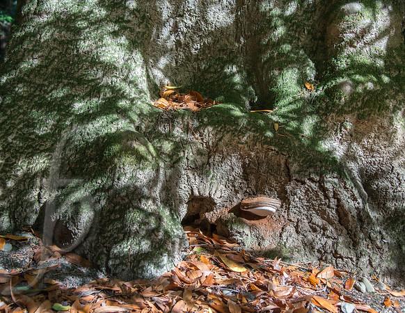Sequoia Magic