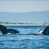 Gray Whale Tails